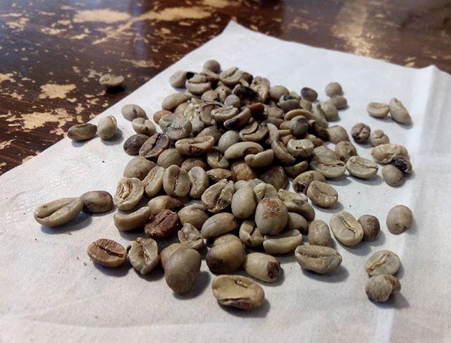 珍しいものとして、欠点豆の写真です。次はエクアドル!赤道直下でコーヒー産地です。欠点豆も少なめだったし、大きさも水分も安定していて良豆ですよ!サンプルロースト開始! (Instagram)